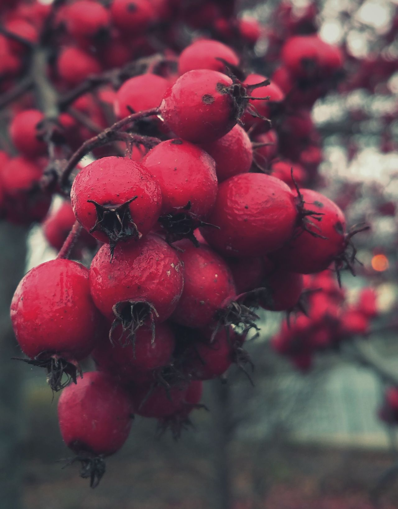 ... Winter Berries ... Fruit Red Close-up Nature Tree Food Cold Temperature Hawthorn Berry Scarlet Nature Wales ягоды боярышник