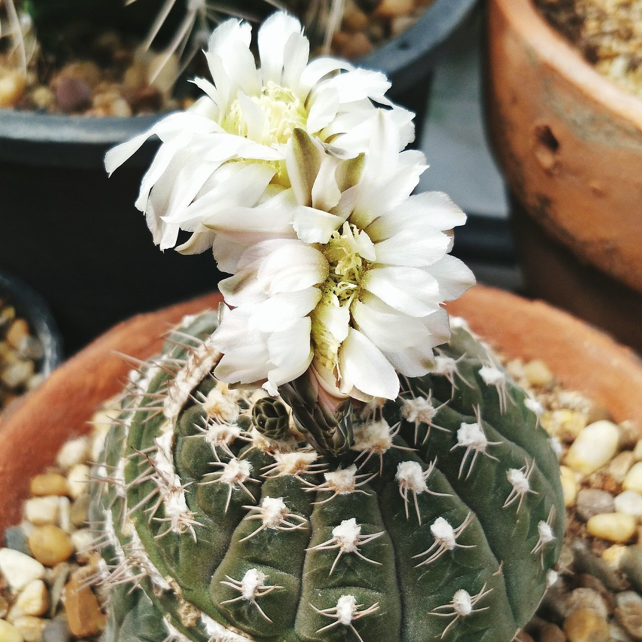 Flower Gymnocalycium Cactus Plant Gymnocactus Cactusflower Cristata Plant No People Beauty In Nature Cactuslover