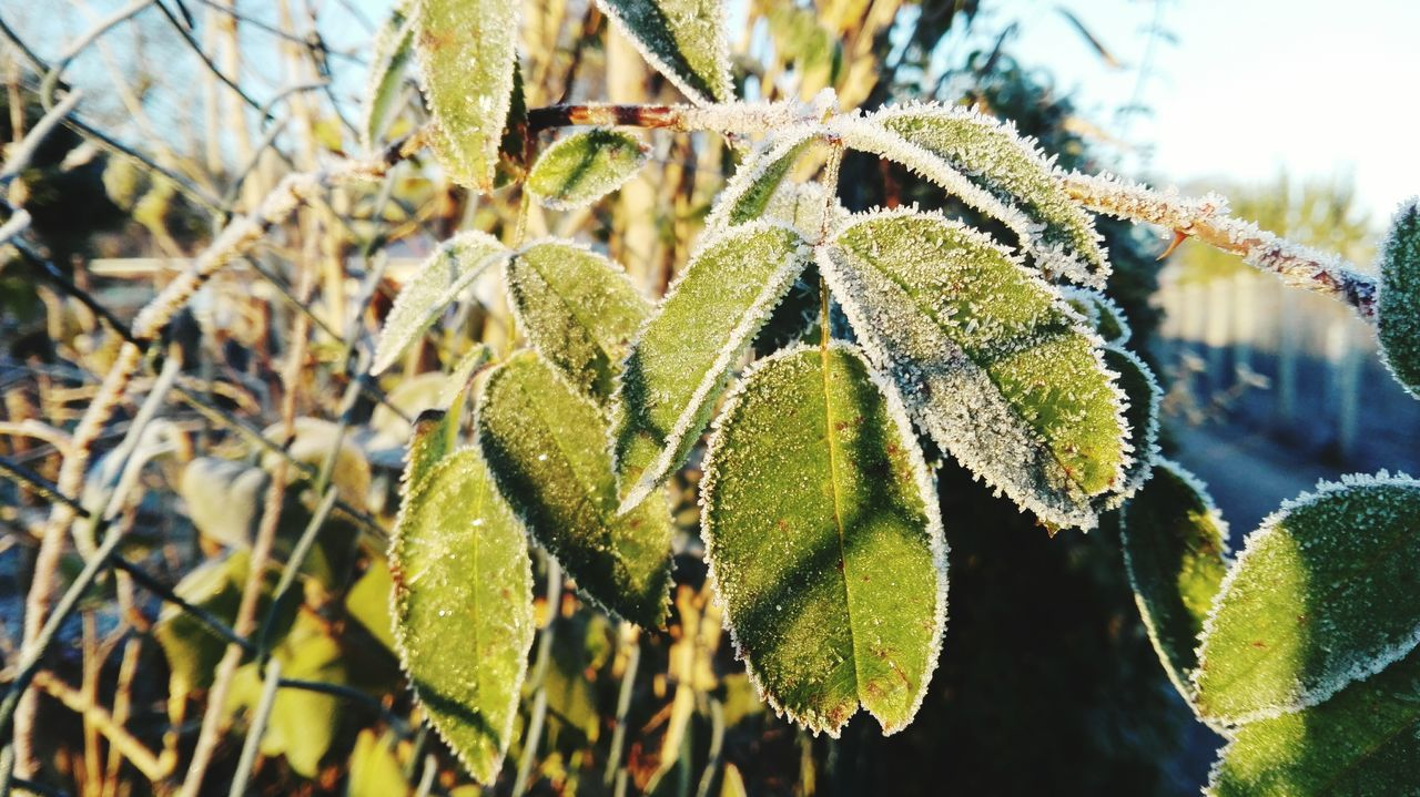 Leaf Green Color Bokeh Cold Morning! Outdoors Autumn 2016 Season  Frosted Tree Scenics The Places I've Been And The Things I've Seen November2016 It Is Cold Outside The Places ı've Been Today Autumn🍁🍁🍁 First Touch Of Winter Cold Temperature Sunlight Beauty In Nature