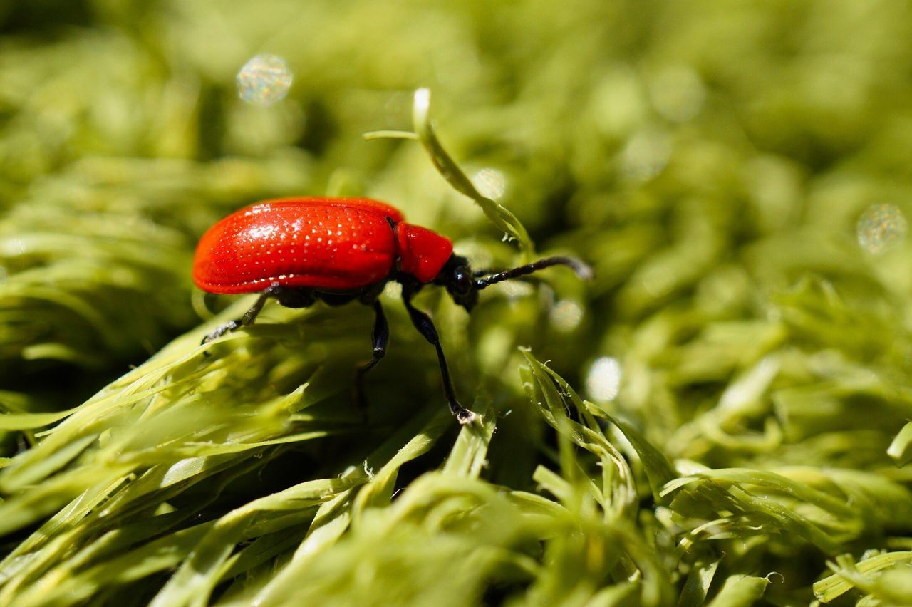 one animal, red, green color, close-up, animals in the wild, animal themes, nature, insect, selective focus, growth, no people, day, outdoors, plant, leaf, grass, beauty in nature