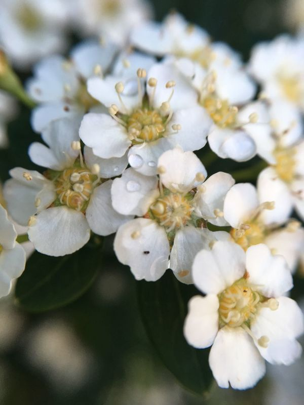 Flower White Color Beauty In Nature Petal Nature Flower Head Springtime Close-up Botany No People Selective Focus