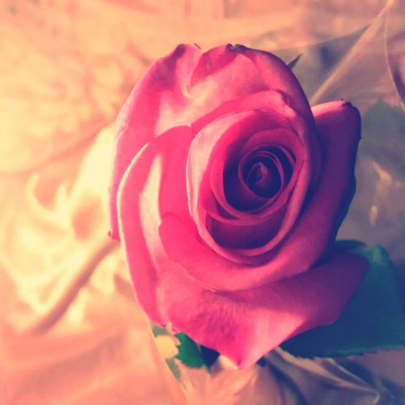 Pink Rose Rose🌹 Light Bright Rose