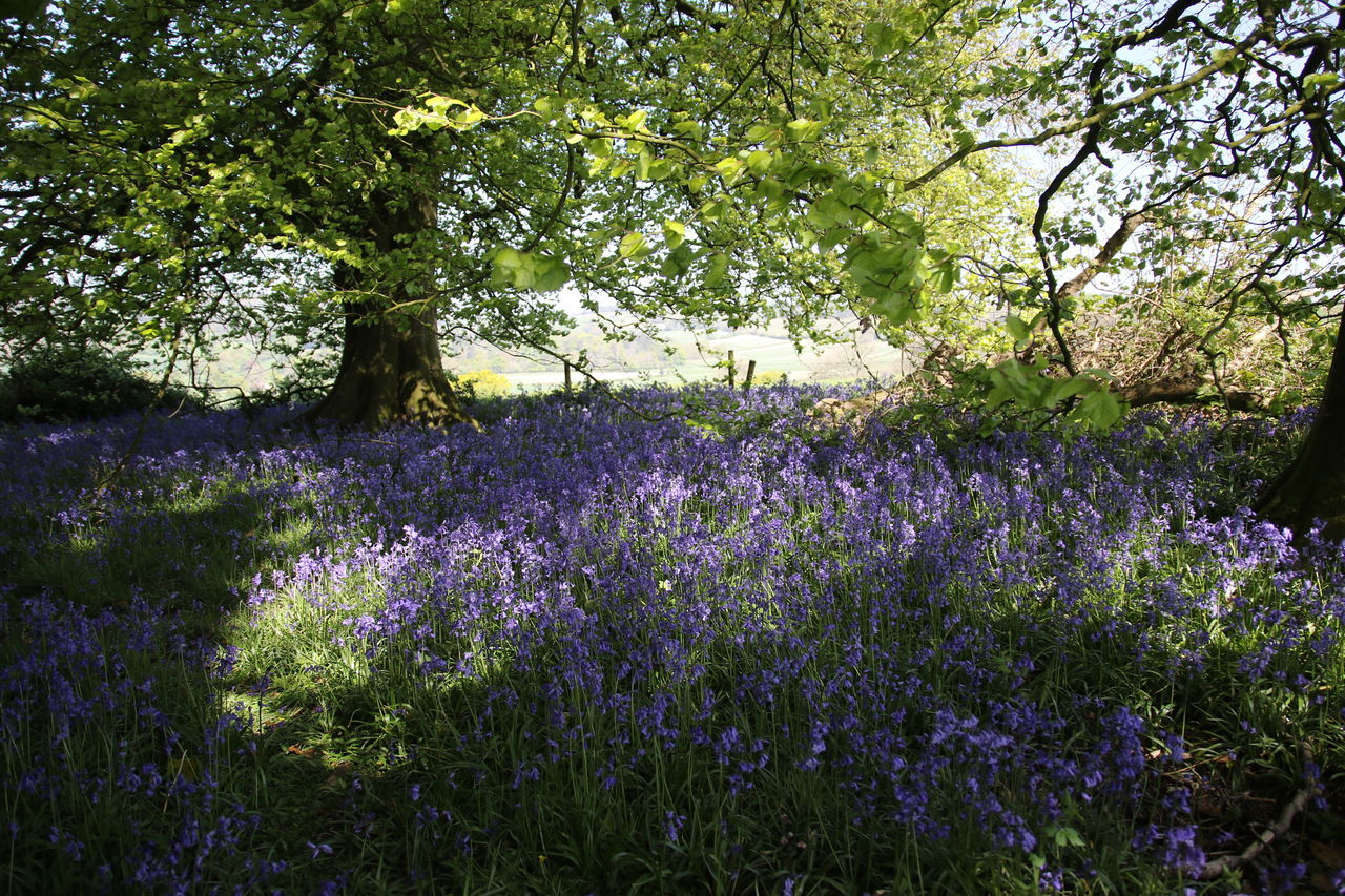 Beauty In Nature Blossom Bluebell Wood Bluebells Cerne Abbas Day Dorset Countryside Field Flower Fragility Freshness Growth Lavender Colored Nature No People Outdoors Plant Purple Scenics Sunlight Tranquility Tree