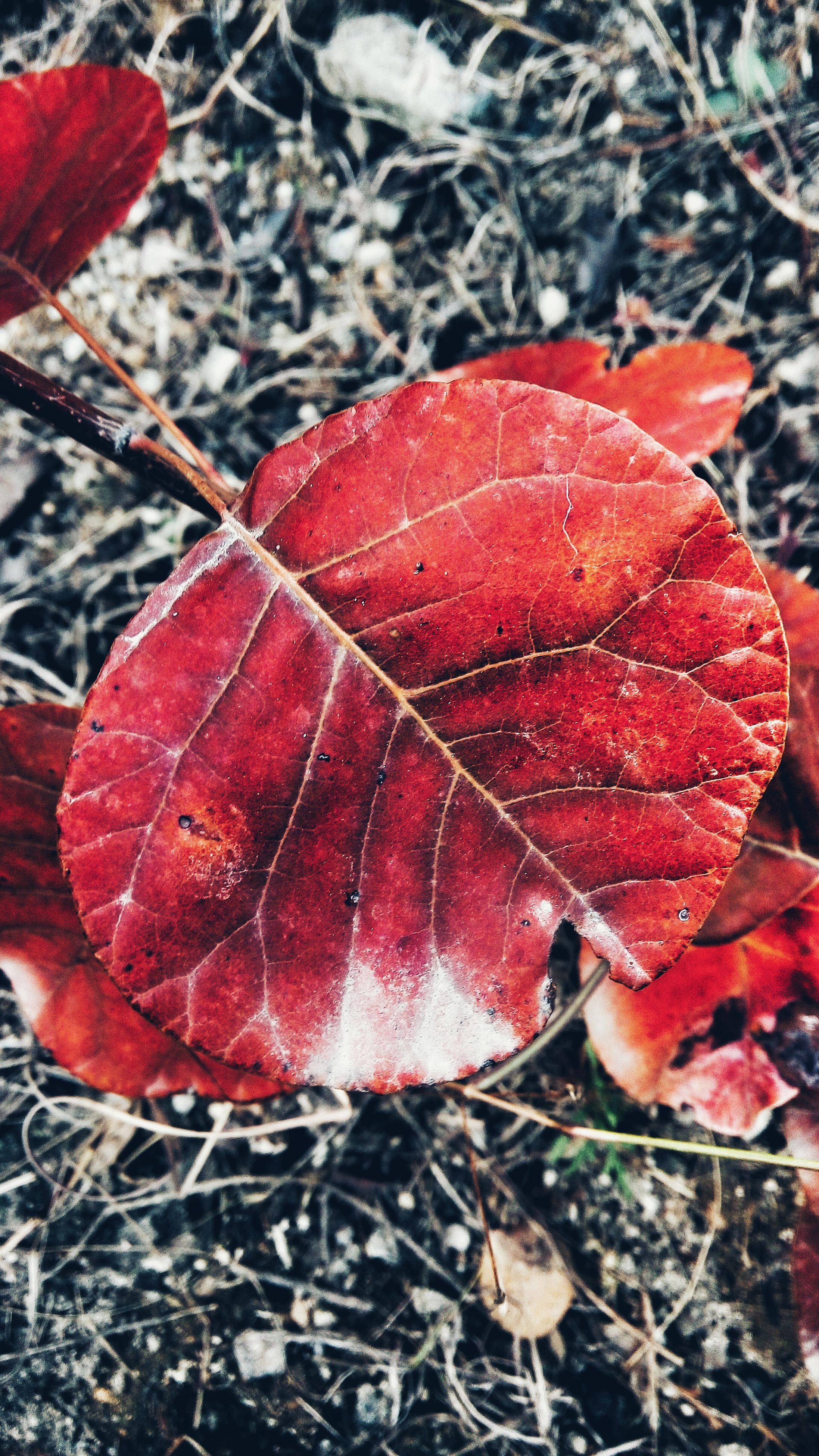 red, leaf, close-up, no people, autumn, outdoors, nature, day