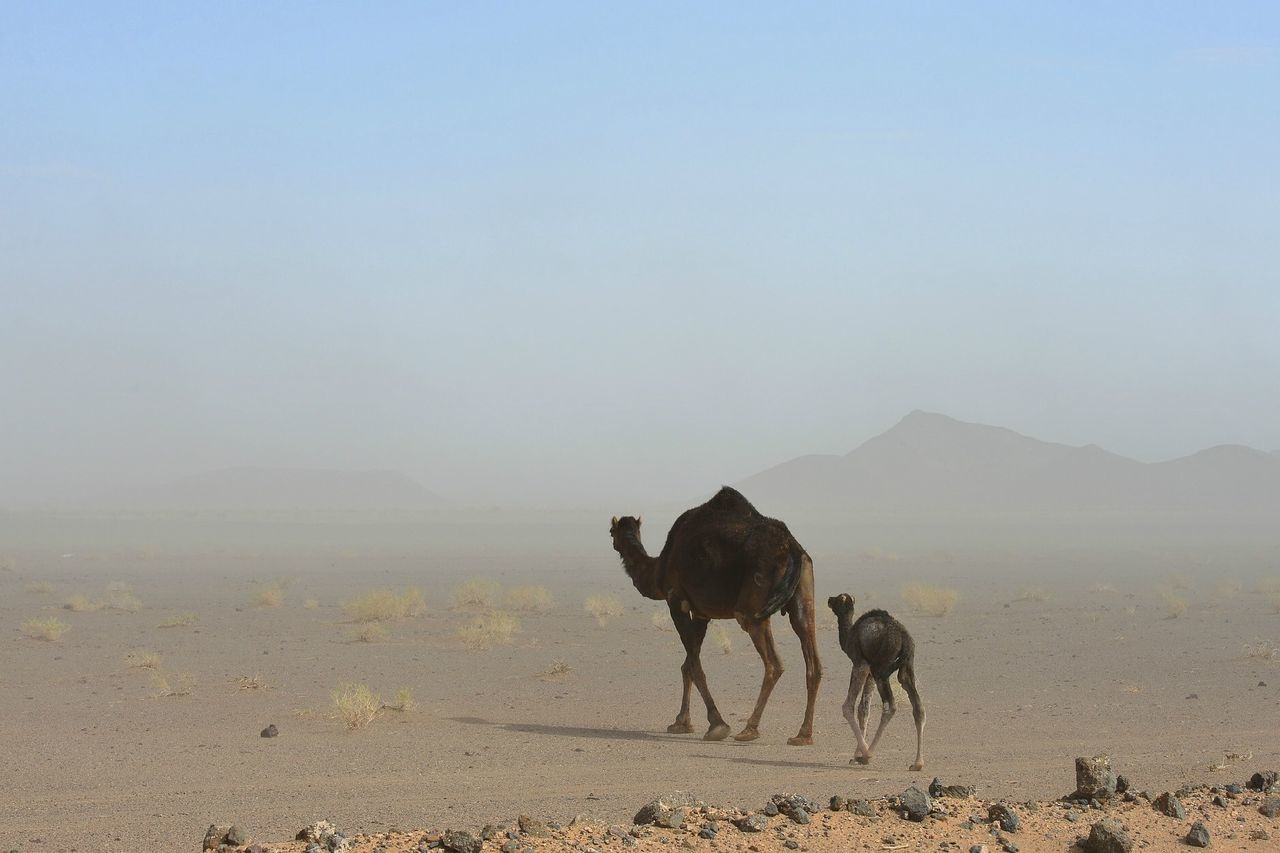 Beautiful stock photos of camel, Animals, Camel, Culture, Desert