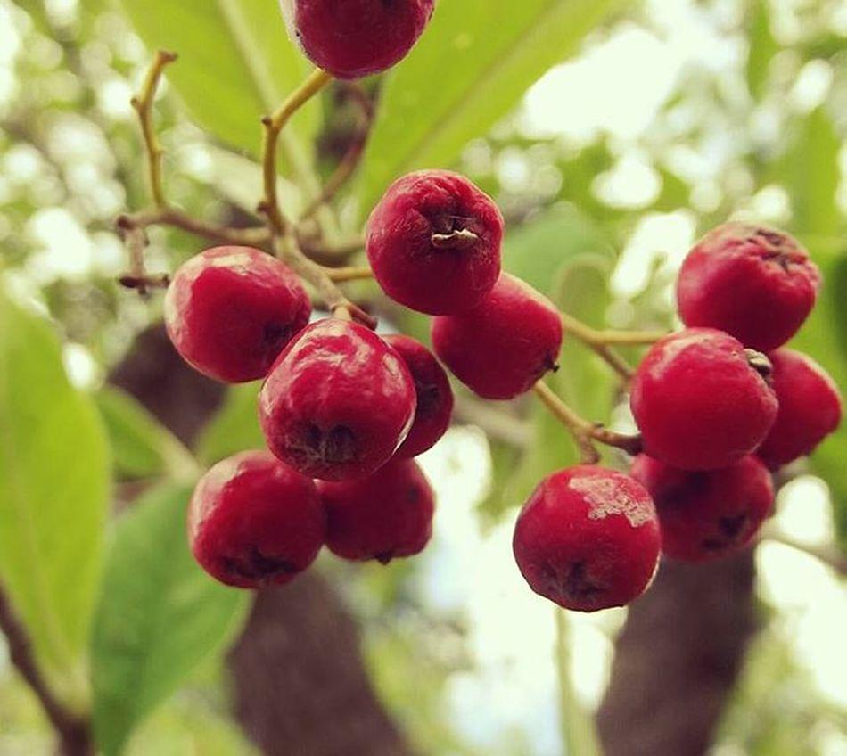 Thd_nosquares Redandgreen Red Berries Redberries Tree Nature Frimleypark I_macro_i Macro Tt_wt_rflora Hello_red