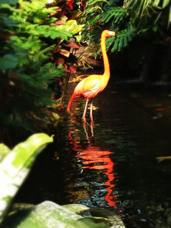Reflection Flamingo Water_collection