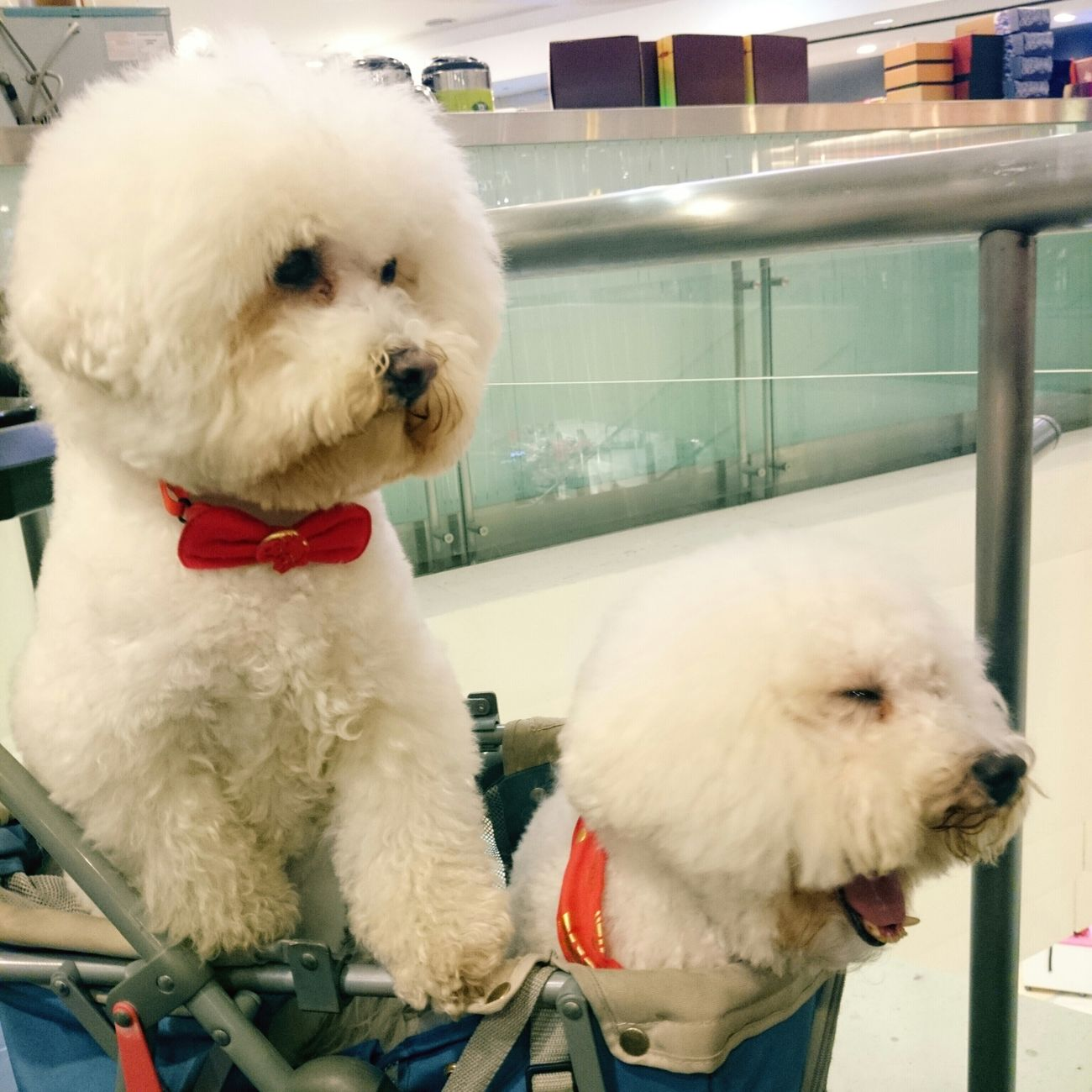 Again, Tony is tired of waiting in the stroller. Tony用哈欠抗議不想待在車裡。 比熊 比熊犬 寵物 Bichon Bichonfrise ビションフリーゼ Pet Puppy Fluffy Dog