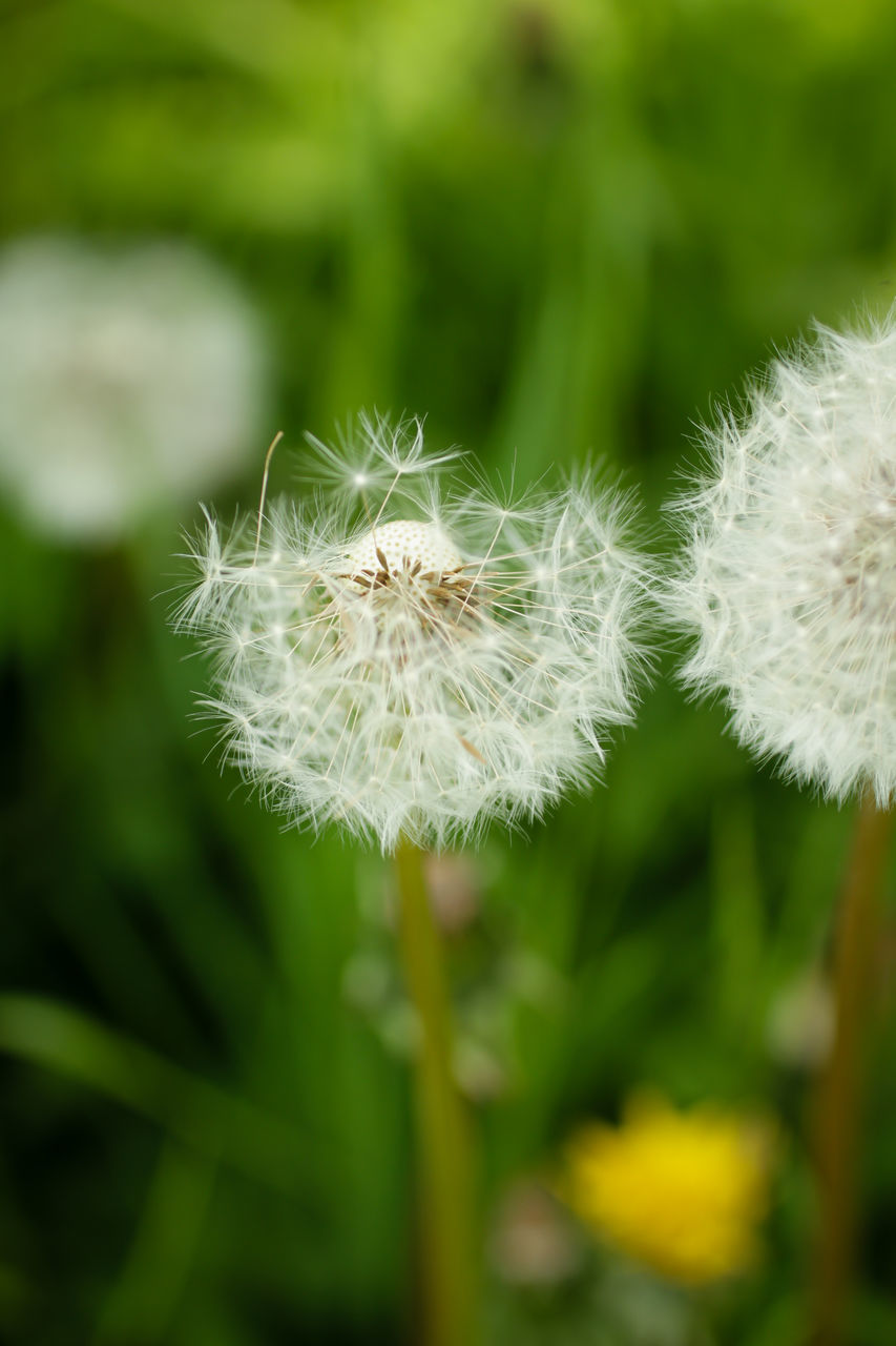 flower, fragility, nature, growth, beauty in nature, dandelion, white color, flower head, plant, focus on foreground, freshness, softness, close-up, day, outdoors, no people, petal, green color