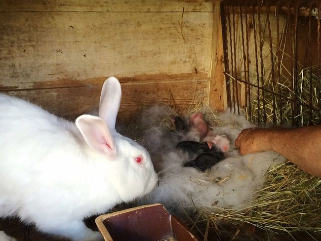 Little Rabbits Rabbit Newly Born Nest Animals Animal White Black Black And White At Grandmas Village Life Country Life