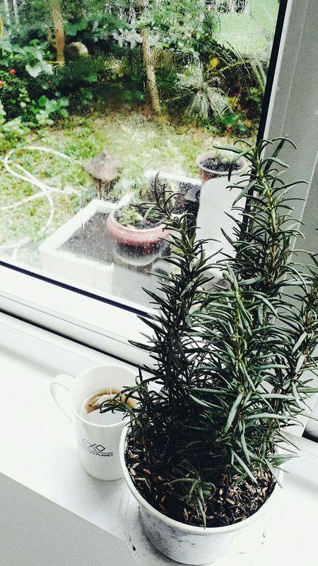 Tree Window Looking Through Window Plant Day Nature Greenhouse Growth Herbs Rosemary Herb Tea Matchagreentea My morning with Matcha & Rosemary