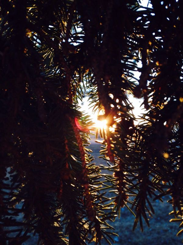Subtelty Nature Tranquility Sunlight Beauty In Nature Outdoors No People Day Sunbeam Scenics Tree Close-up Beauty In Nature Nature Sunset Needle - Plant Part EyeEmNewHere EyeEmNewHere