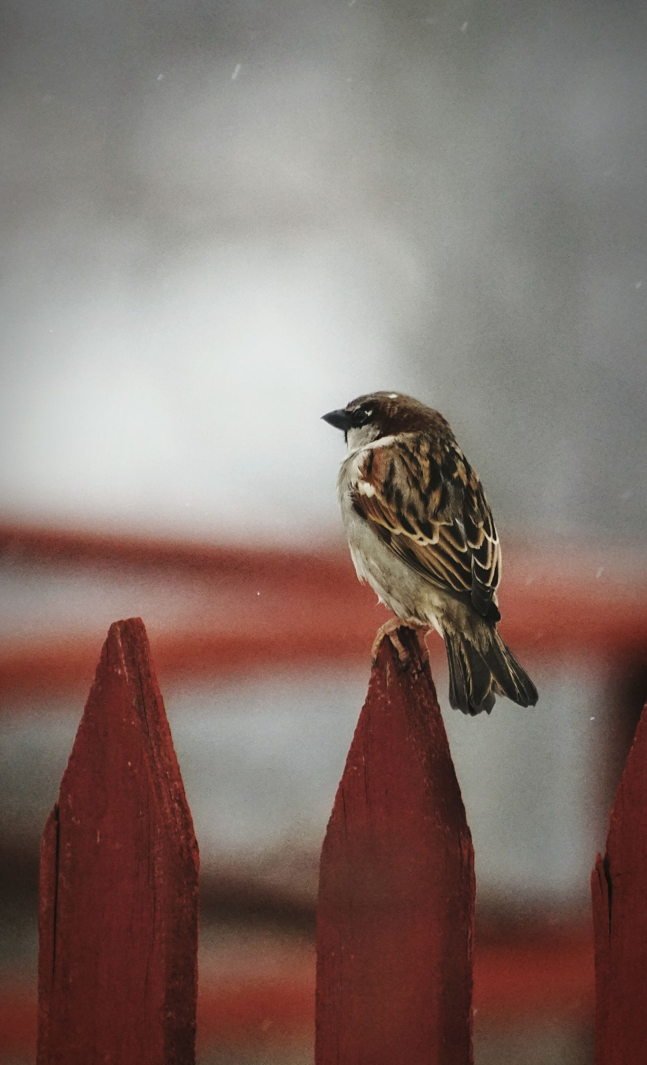 Sweden 2017 Februari Niklas Showcase February 2017 Tantolunden Stockholm House Sparrow Animal Themes Bird Animal Wildlife Animals In The Wild One Animal Perching Focus On Foreground Songbird  Close-up Outdoors Living Organism Sparrow Beauty In Nature