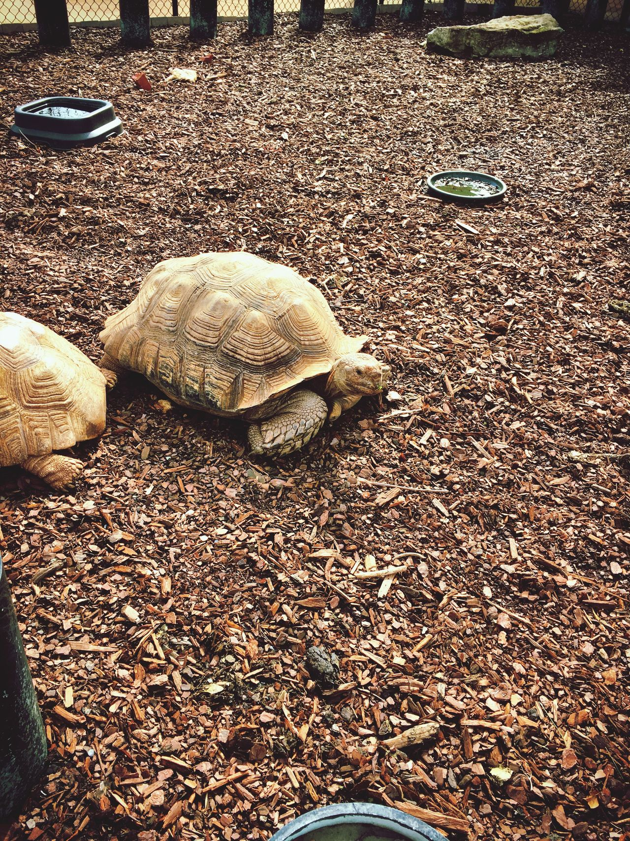 Turtle Animal Themes Animal Shell Tortoise Shell Tortoise One Animal Outdoors Reptile Pets Day Close-up Nature No People Zoo Animals  Zoo Life Animals From The Wild Big Turtle 😚 Georgia