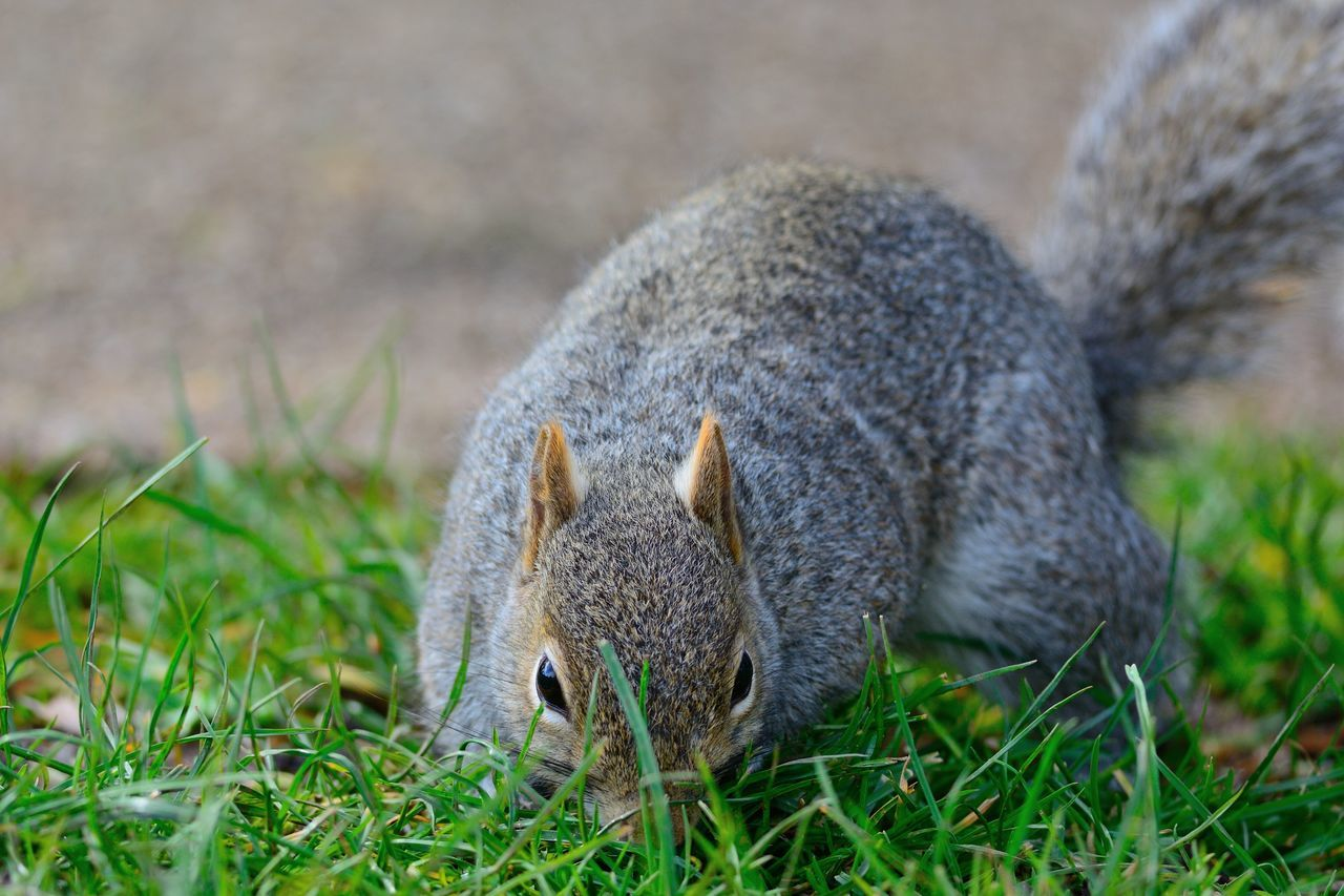 Squirrel On Grassy Field