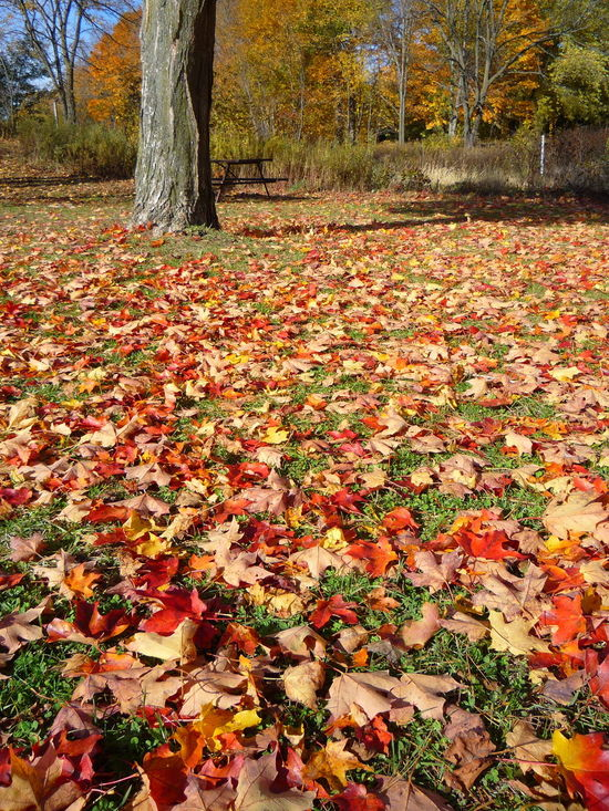 Autumn Leaf Nature Tree Change Beauty In Nature Day Tree Trunk Outdoors No People Tranquility Scenics Growth Branch Landscape Forest Multi Colored Close-up Park Daytime Orange Leaves Outdoors Photograpghy  Grass Ground