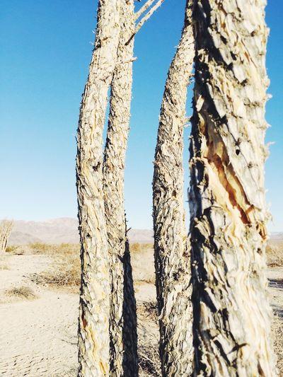 Ocotillo Joshua Tree Cactus Ocotillo Day Outdoors Sunlight Nature Sky Clear Sky No People