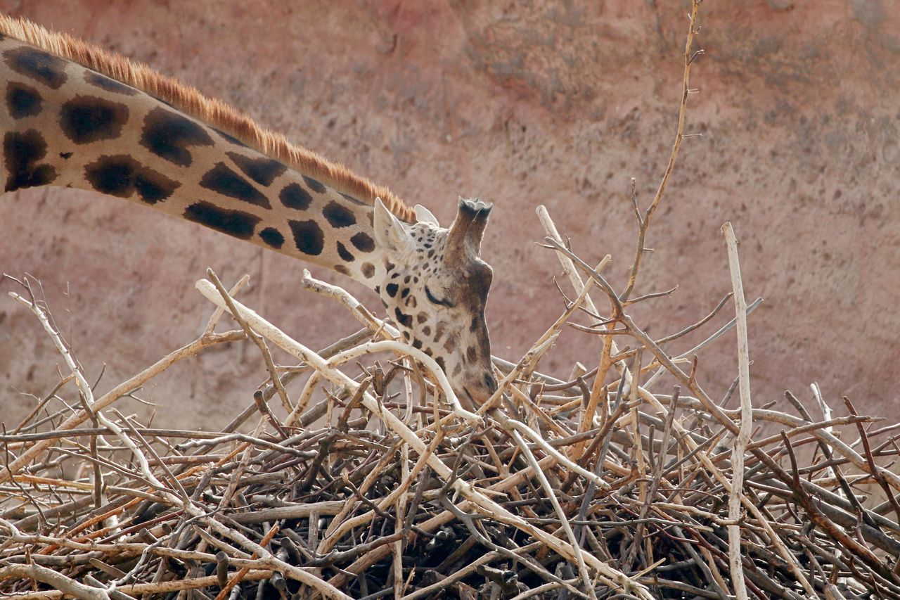 Animal Themes Animal Wildlife Animals In The Wild Close-up Day Giraffe Mammal Nature No People Outdoors