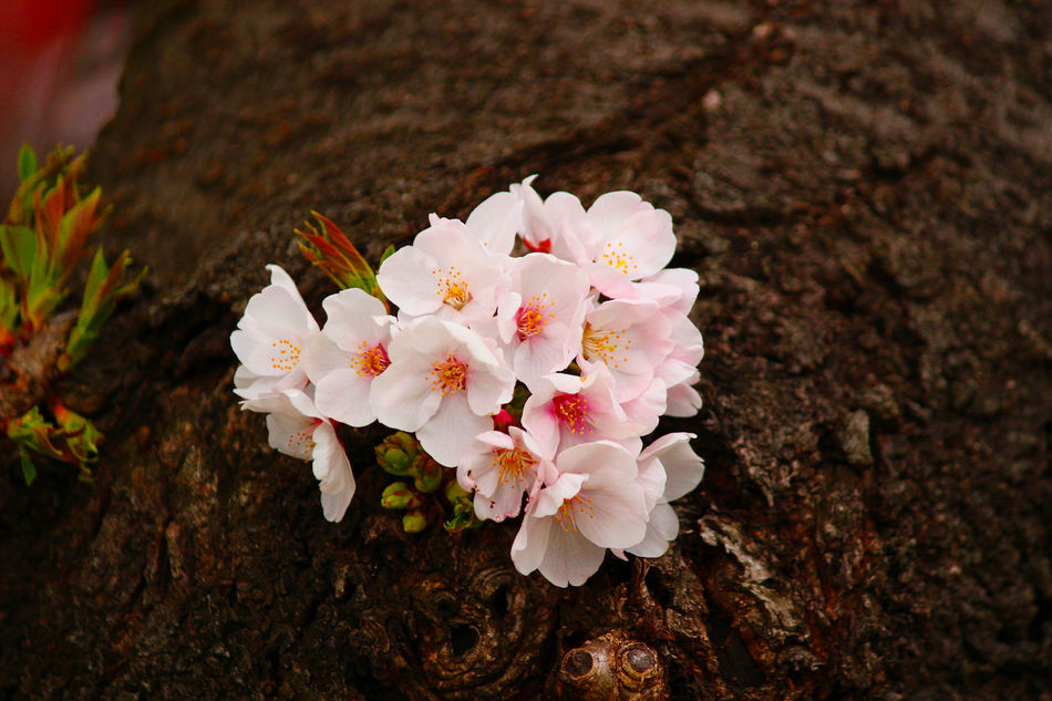 Beauty In Nature Blooming Blossom Close-up Flower Fragility Growth Nature No People Outdoors Petal Springtime Tree White Color