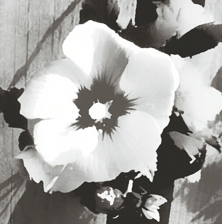 Fortheloveofblackandwhite .. Rose Of Sharon .. Second Edit