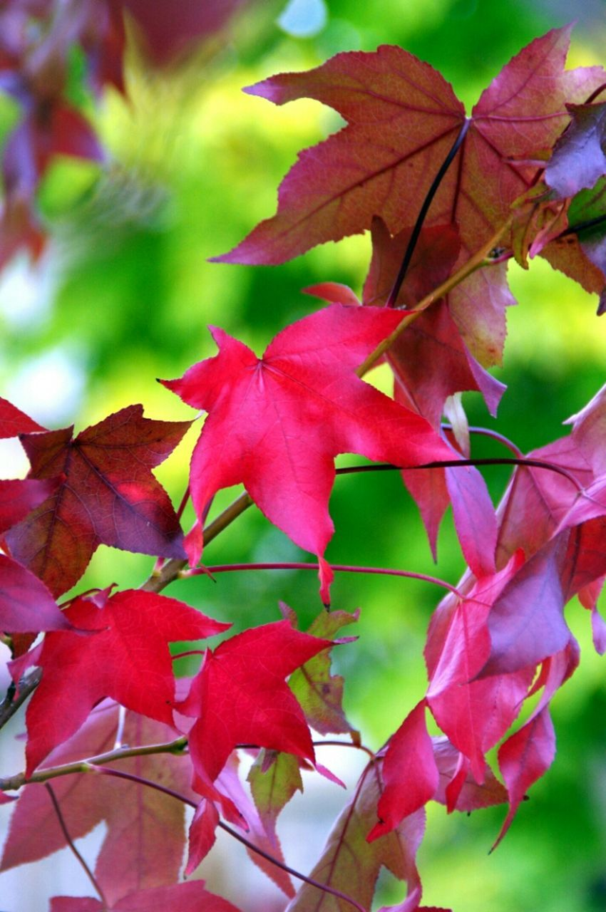 leaf, autumn, change, growth, close-up, branch, focus on foreground, pink color, nature, leaves, season, beauty in nature, tree, red, low angle view, day, backgrounds, fragility, outdoors, no people