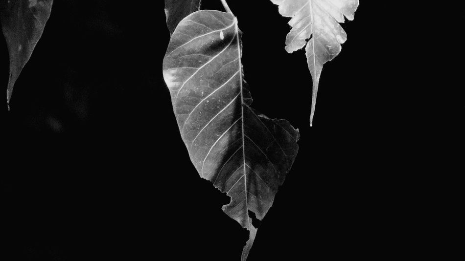 #1Close-up Leaf Nature No People Naturephotography Leaf Photography Through My Eyes Nature Photography Capture The Moment Nature Nature Makes Me Smile Nature_perfection Love To Take Photos ❤ EyeEm Best Shots - Nature Naturelovers Leaf 🍂 Peepal Tree Nature Collection Black And White Photography Black And White Collection  Black And White Bnw_collection EyeEm Best Shots - Black + White Black & White Photography Black And White Nature Photography Welcome To Black