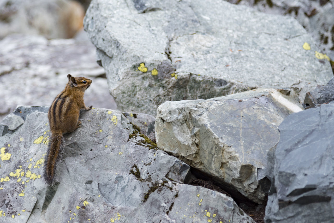 Chipmunk on granite rocks with copy space Animal Themes Animal Wildlife Animals In The Wild Chipmunk Close-up Copy Space Cute Day Fluffy Granite Landscape Mammal Nature No People One Animal Outdoors Perching Rock - Object Rocks Rodent Squirrel