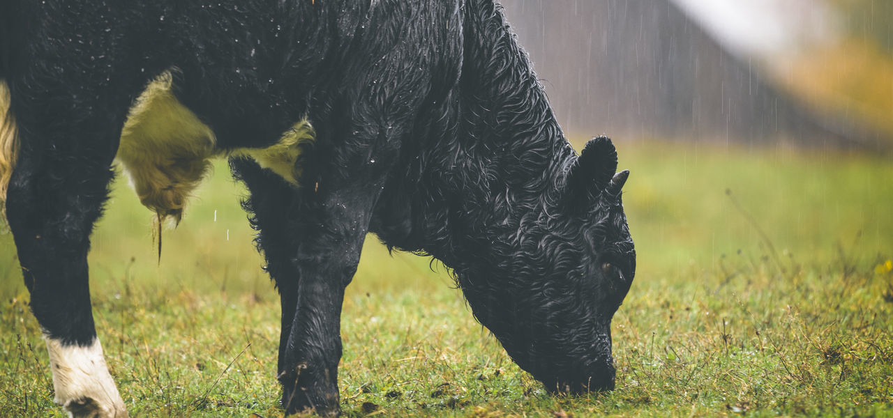 Curly haired cow grazing in the rain Animal Themes Cow Cow Grazing Curly Hair Domestic Animals Grass Grazing Cattle Livestock One Animal Outdoors Rain Raindrops Raining Outside