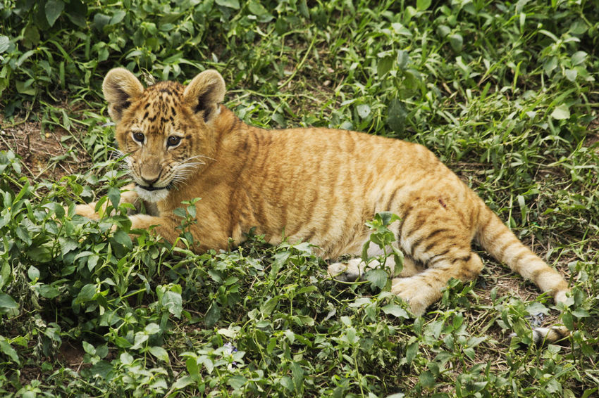 Liger Animal Themes Animal Wildlife Animals In The Wild Cub Day Feline Lion Tiger Lion Tiger Hybrid Looking At Camera Mammal Nature No People One Animal Outdoors Plant Portrait