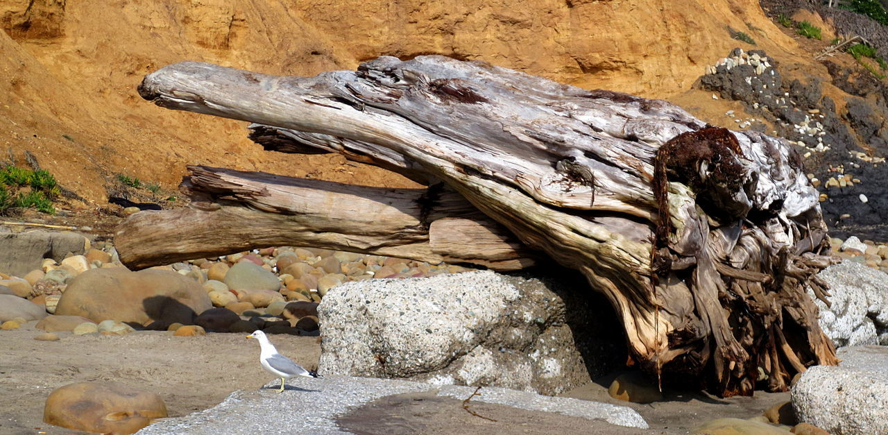 An old tree trunk and other weathered drift wood lies on the beach along with rocks, chunks of old concrete and a single sea gull, on the California coast. Beach Bird California Coastal Day Drift Wood On Beach Eroded Golden Landscape Natural Pattern Nature No People Non-urban Scene Orange Color Outdoors Rock Rock - Object Roots Sand Sea Gull Tree Trunk Tree Trunk, Tree, Fallen Tree Weathered Wood Wood