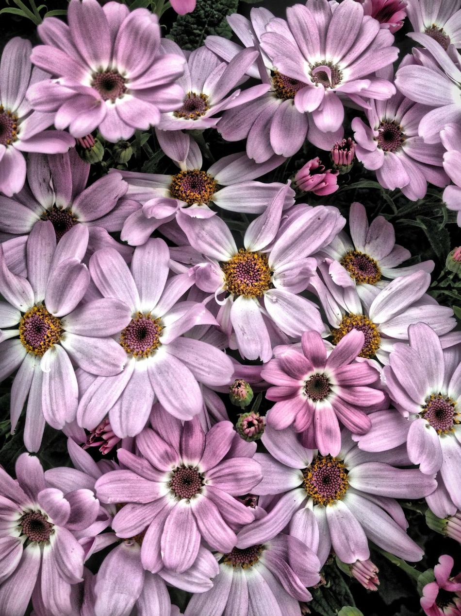 Cineraria flowers Beauty In Nature Blooming Botany Cineraria Close-up Flower Flower Head Flowers Freshness Growth In Bloom Nature Outdoors Petal Pink Plant