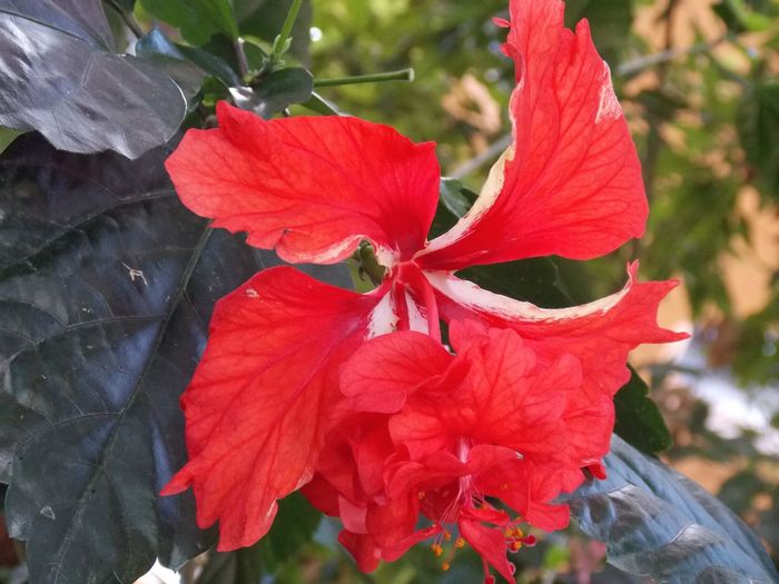 Hibiscus Flowers Red Color Flowers, Nature And Beauty Macro Photography Red Flower