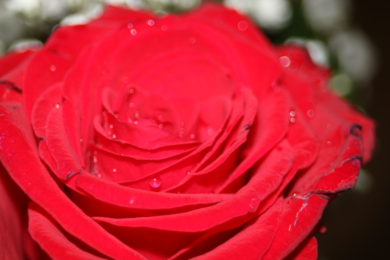 petal, flower, red, drop, freshness, nature, beauty in nature, flower head, water, close-up, rose - flower, growth, no people, fragility, wet, focus on foreground, day, outdoors, blooming