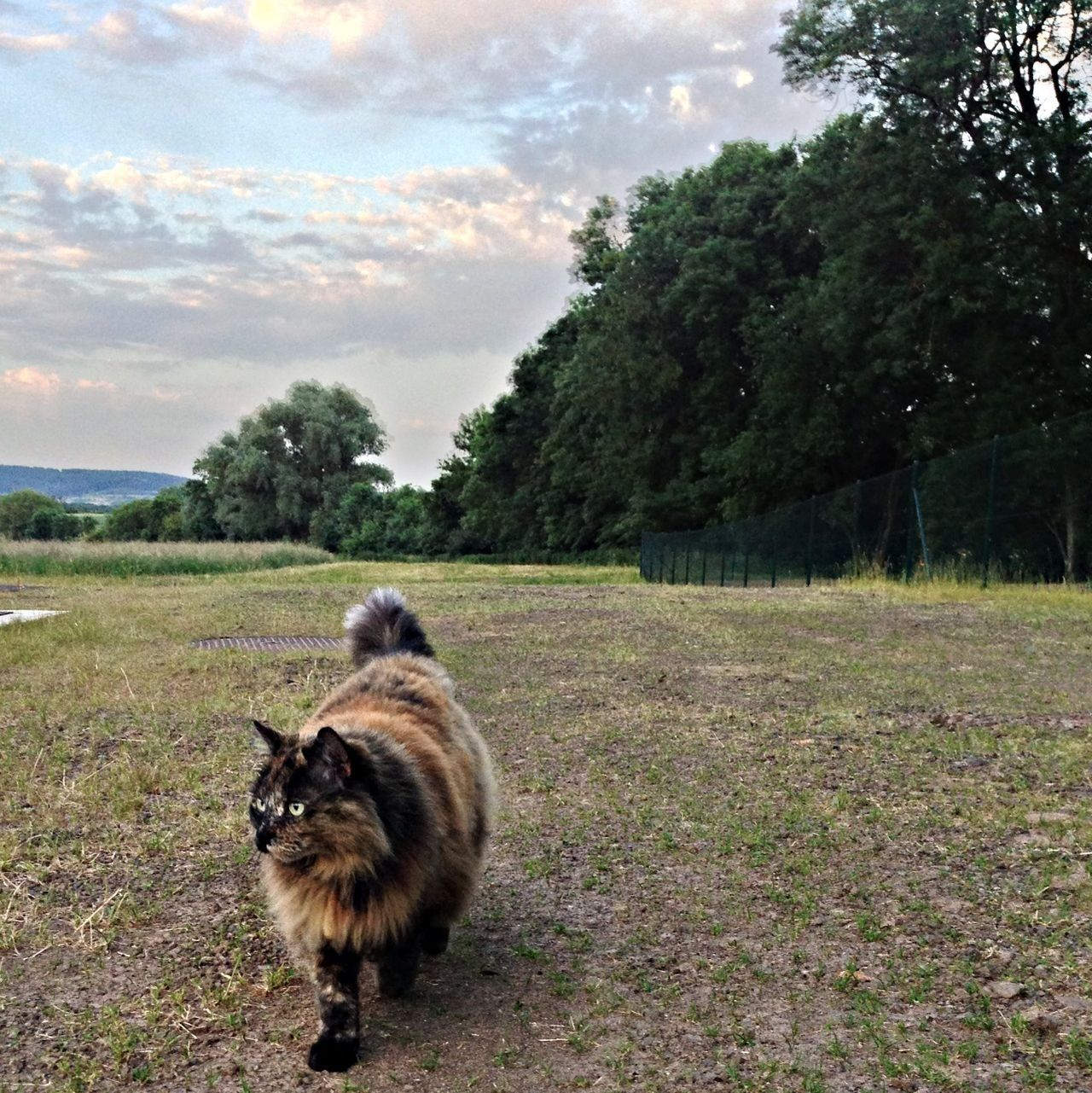 Cat Taking A Walk Four Legs And A Tail