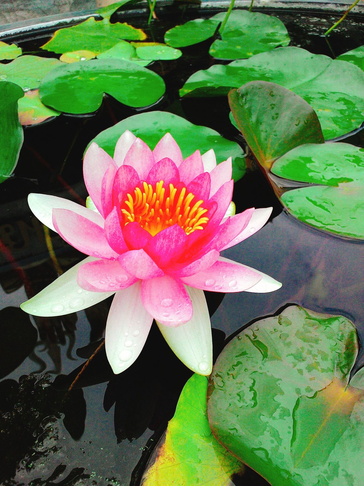 Close-up Flower Lotus Lotus Flowers Lotus Leaf Lotus Leaf With Raindrop Lotus Water Lily Pink Lotus Pink Lotus Flower Purple Lotus Purple Lotus Flower Water Lily Water Lily Flower Water Lily Leaf