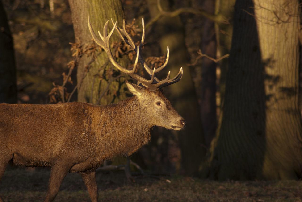 Beautiful stock photos of jagd, Animal Themes, Animal Wildlife, Animals In The Wild, Antler