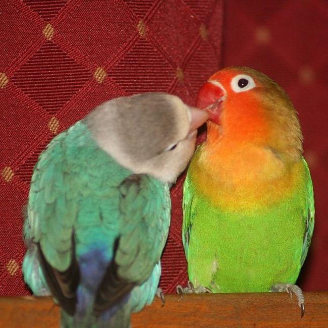 Muah! :) #petsofinstagram #birds #parrotsofinstagram Birds Lovebirds Petsofinstagram Parrotsofinstagram Jj_forum_0603