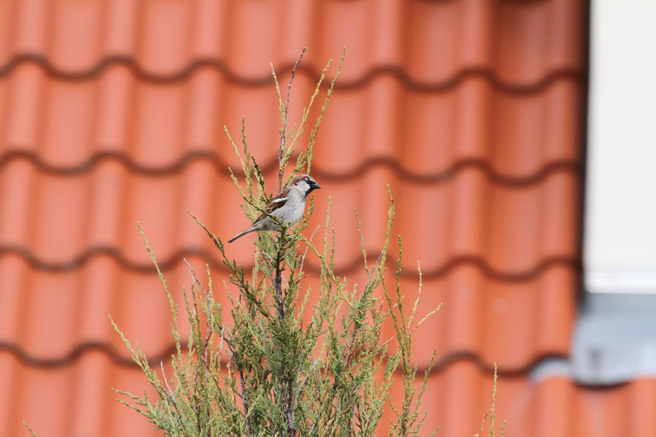 Bird In Tree Day Growth Nature No People Outdoors Roof Sparrow Sparrow In A Tree