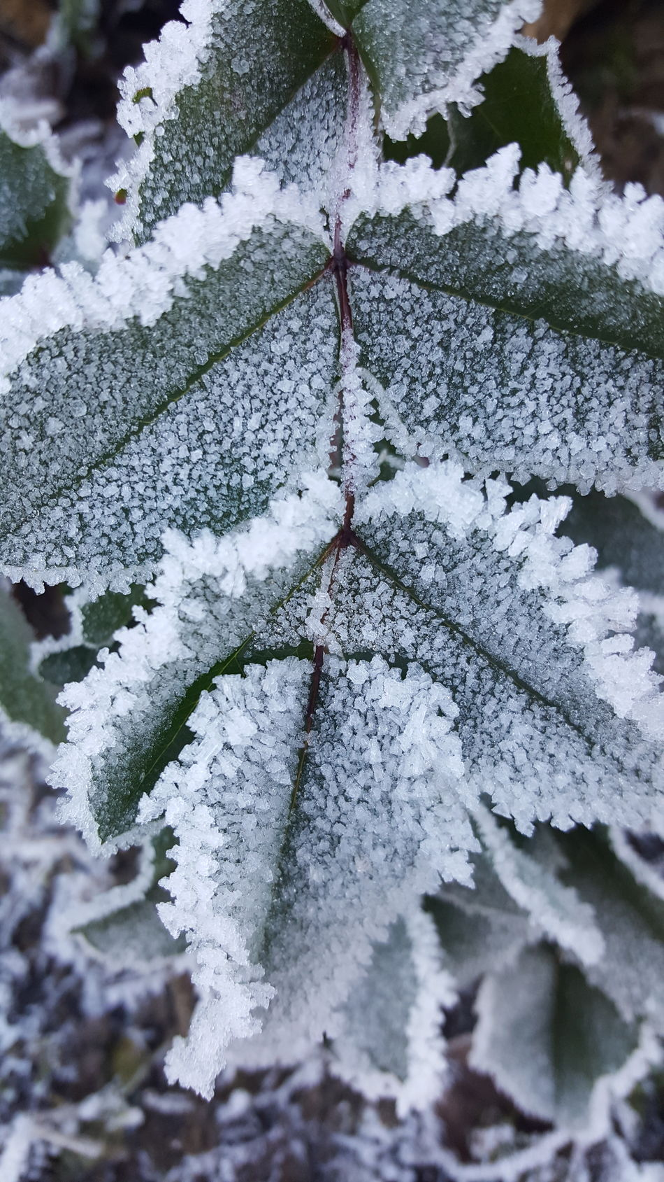 Leafs Icy Icy Wonderland Icy Day Icy Morning Ice Cristal Winter Wintertime Winter_collection Mourning Card Card Design Outdoors Art Photography Outdoor Photography Cold Day Beauty In Nature Rural Scene Focus On Foreground No People Close-up Nature Day Blue Nature_collection Detail