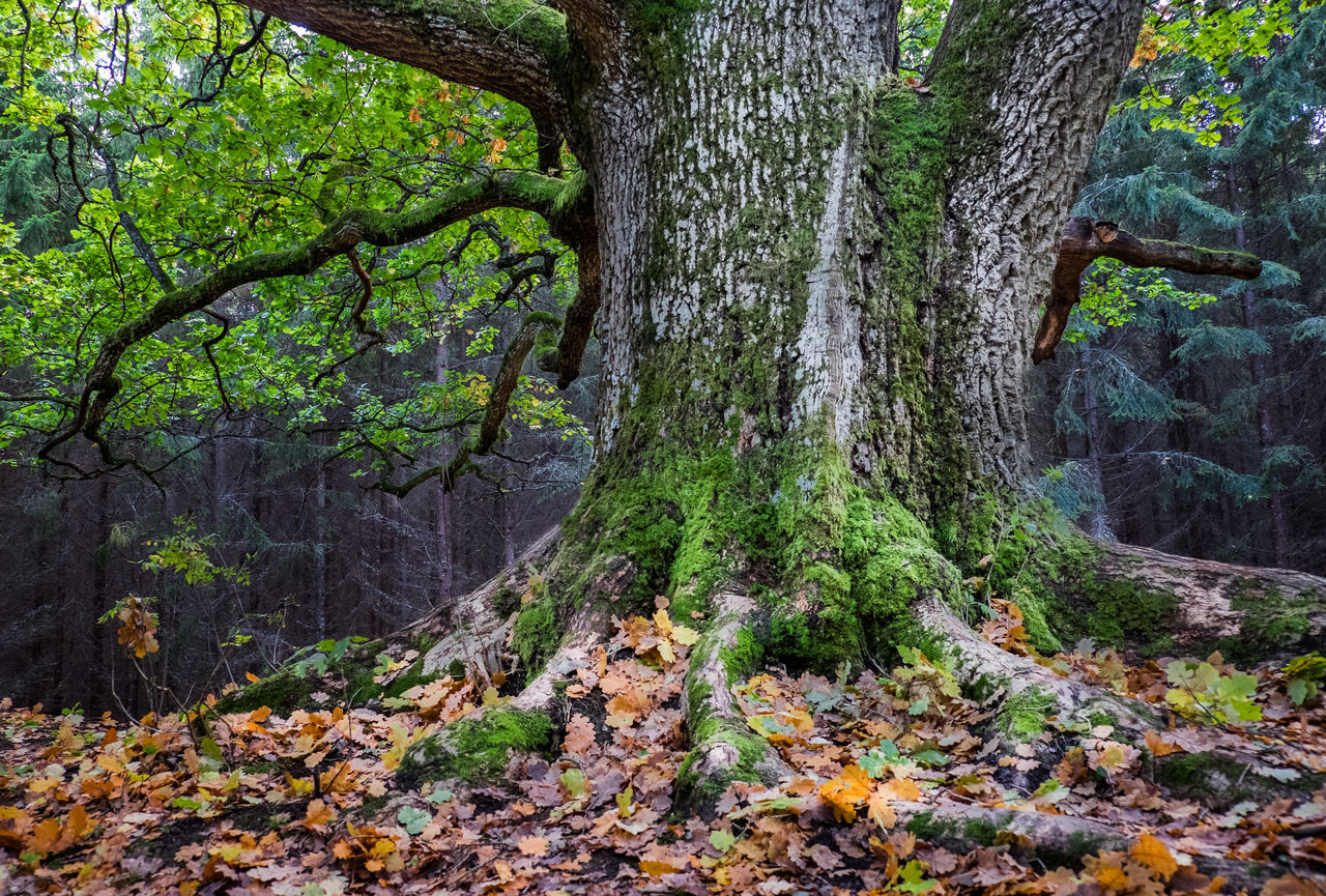 Big old oak with roots and fallen leaf at autumn Autumn Autumnal Backgrounds Beauty In Nature BIG Branch Colors Day Fall Forest Fresh Leaf Leafs Lush Foliage Moss Nature Nature No People Oak Old Outdoors Roots Tree Tree Trunk