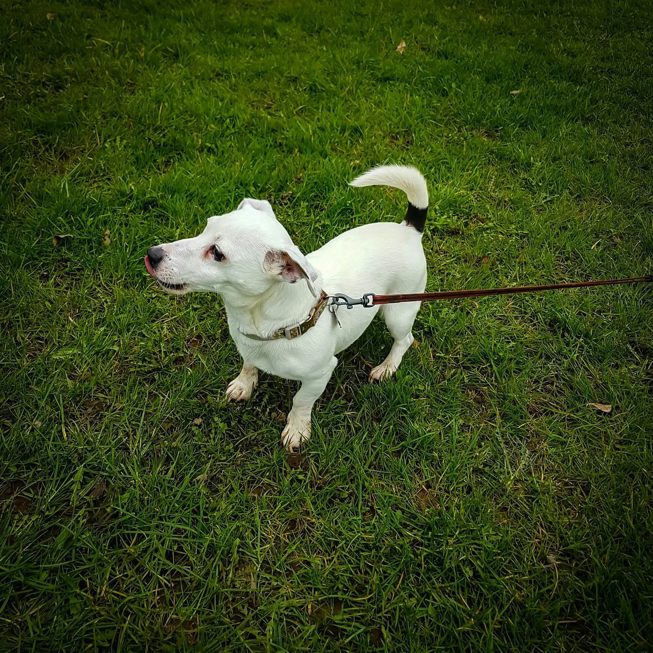 dog, pets, domestic animals, grass, animal themes, mammal, one animal, high angle view, white color, pet leash, outdoors, pet collar, day, growth, standing, no people, full length, nature
