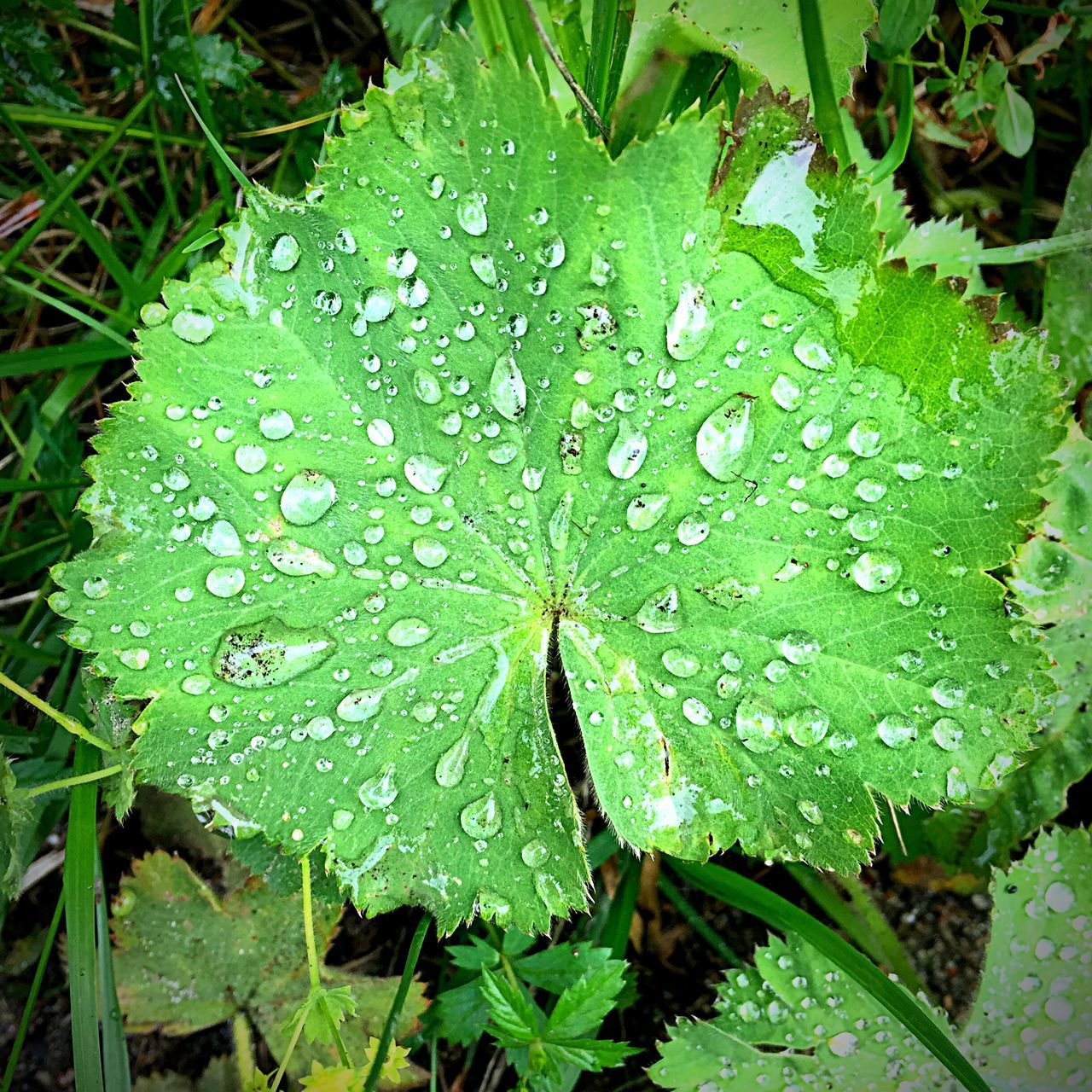 Waterdrops Leaf Nature Nature_collection Green Drops Outside IPhoneography Showcase July Sweden Outside Photography Flowers, Nature And Beauty Leafs Green Leaf Check This Out Taking Photos