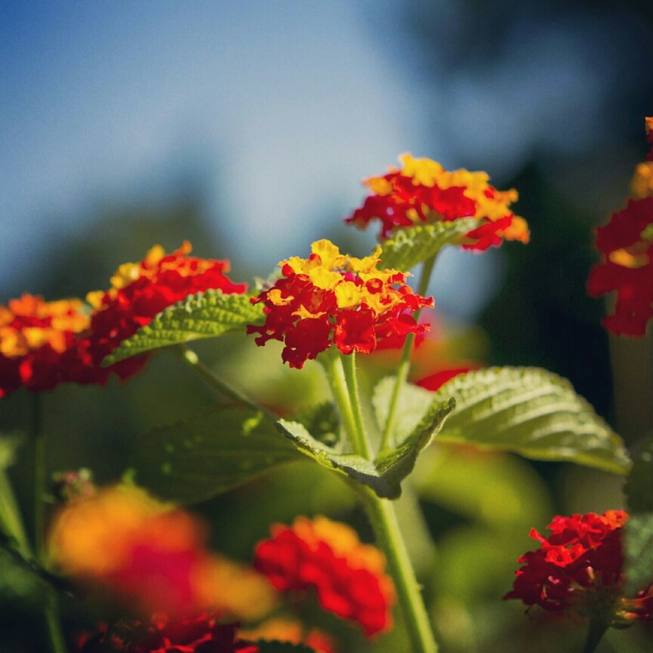 flower, growth, nature, beauty in nature, plant, fragility, red, freshness, petal, no people, blooming, day, lantana camara, outdoors, leaf, flower head, close-up