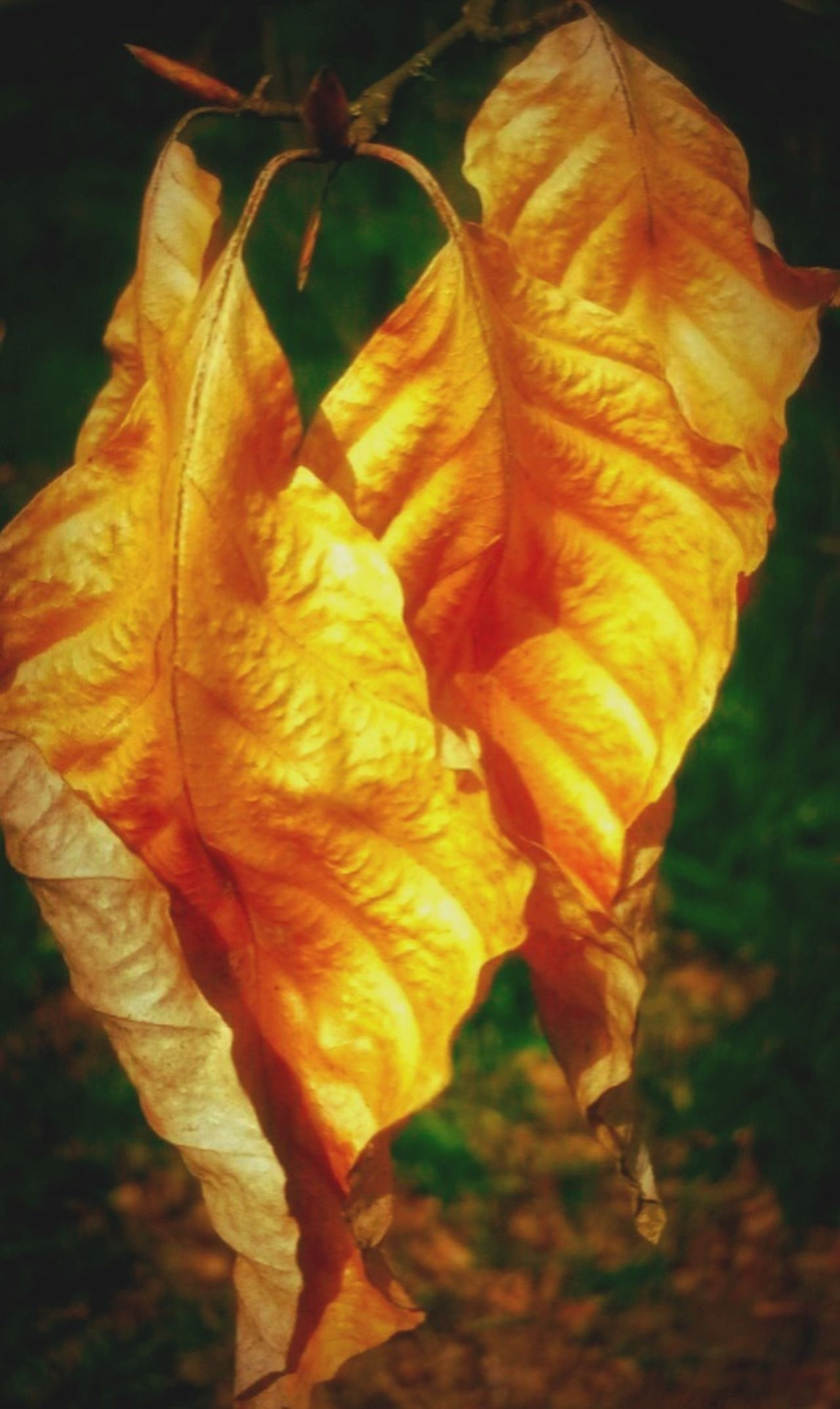 Autumn Leaves Autumnal Leaves Autumn🍁🍁🍁 Autumn Collection Beauty In Nature Nature Fragility Close-up Autumn Colours Crisp Leaves Golden Leaf Golden Leaves Fall Colours Fall Leaves Fall Leaves On Tree