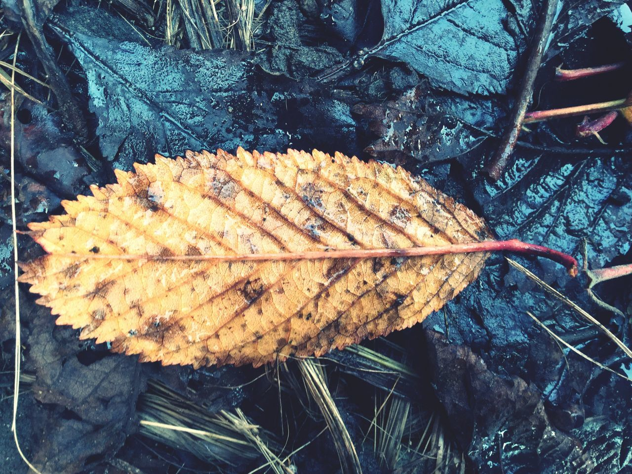 leaf, dry, change, day, nature, outdoors, close-up, autumn, no people, plant, fragility, beauty in nature, maple