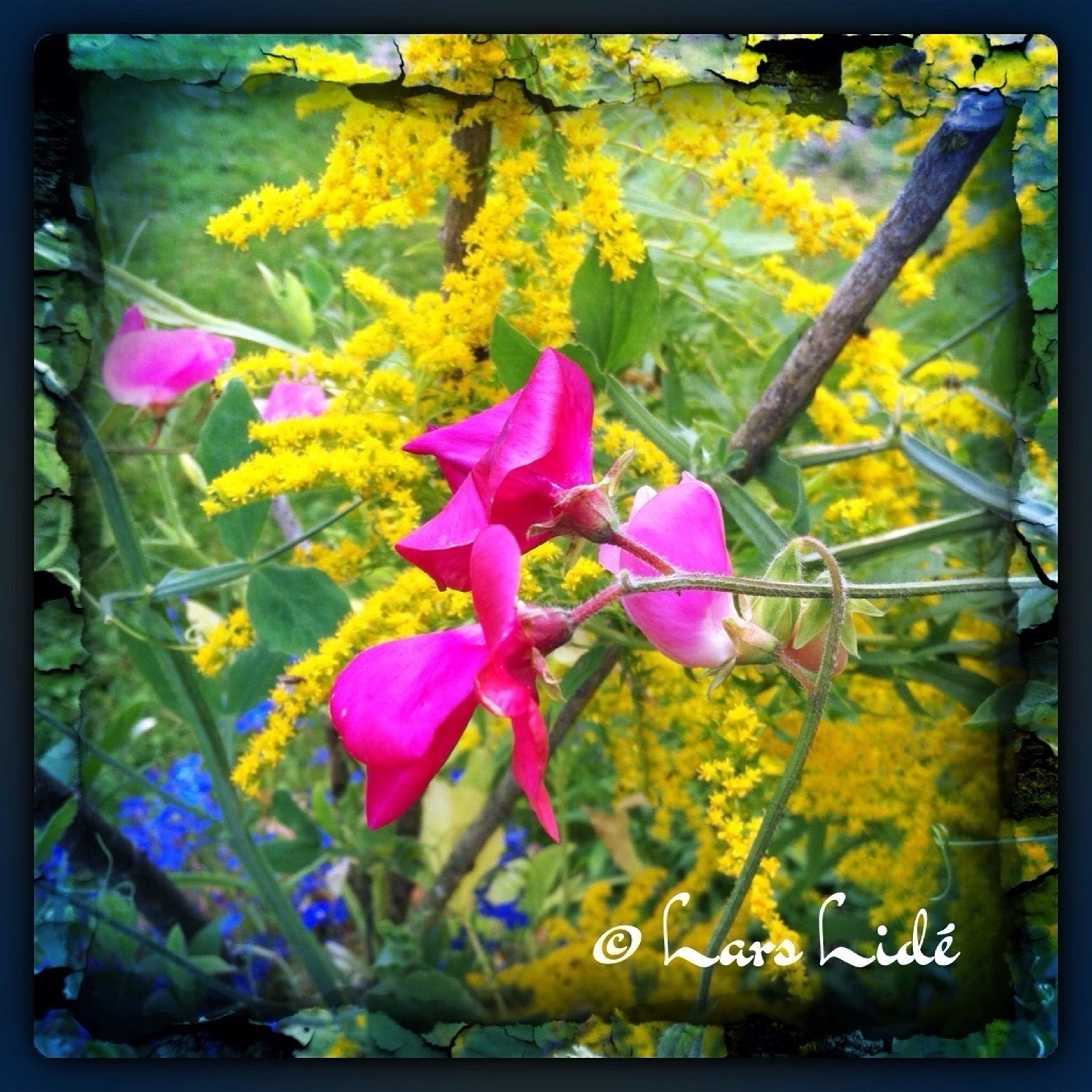 transfer print, auto post production filter, flower, yellow, fragility, growth, freshness, beauty in nature, plant, nature, close-up, petal, day, outdoors, flower head, focus on foreground, multi colored, leaf, pink color, blooming