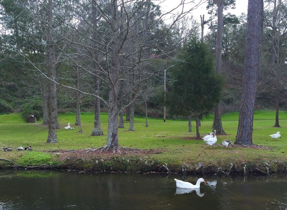 Showcase March Swans Green Birds Water Pond Swans Learn & Shoot: Balancing Elements Park Landscapes With WhiteWall