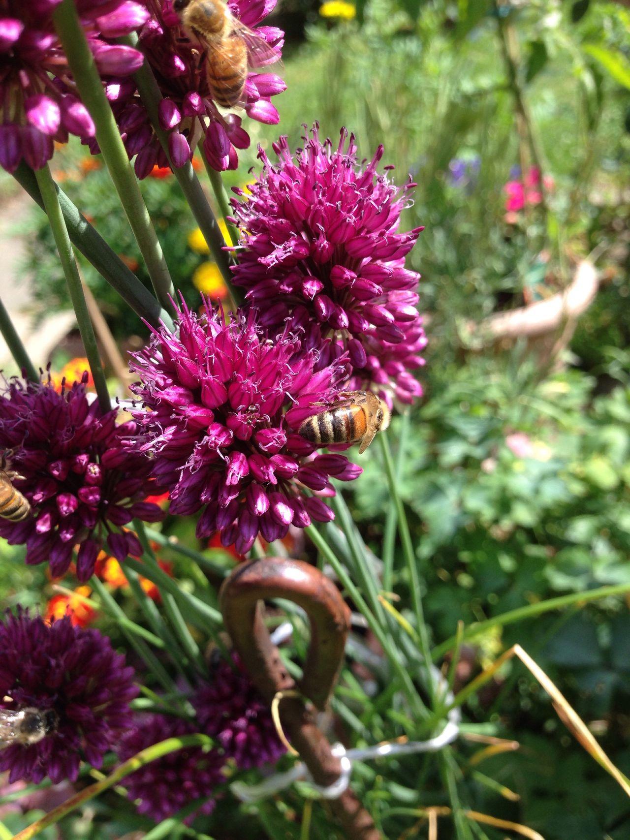 Garten Pflanze Natur Allium Sphaerocephalon Allium Flower Garden Garden Photography Zierlauch Kugellauch Lauch Wildbiene Wildbee Biene Bee Wildbienen Bienen Bei Der Arbeit Bienen  Bees Bees And Flowers