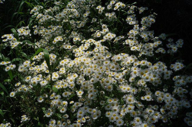 Ricoh GXR Voigtländer Color-skopar 25mm/f4 Nature_collection Spring Flowers