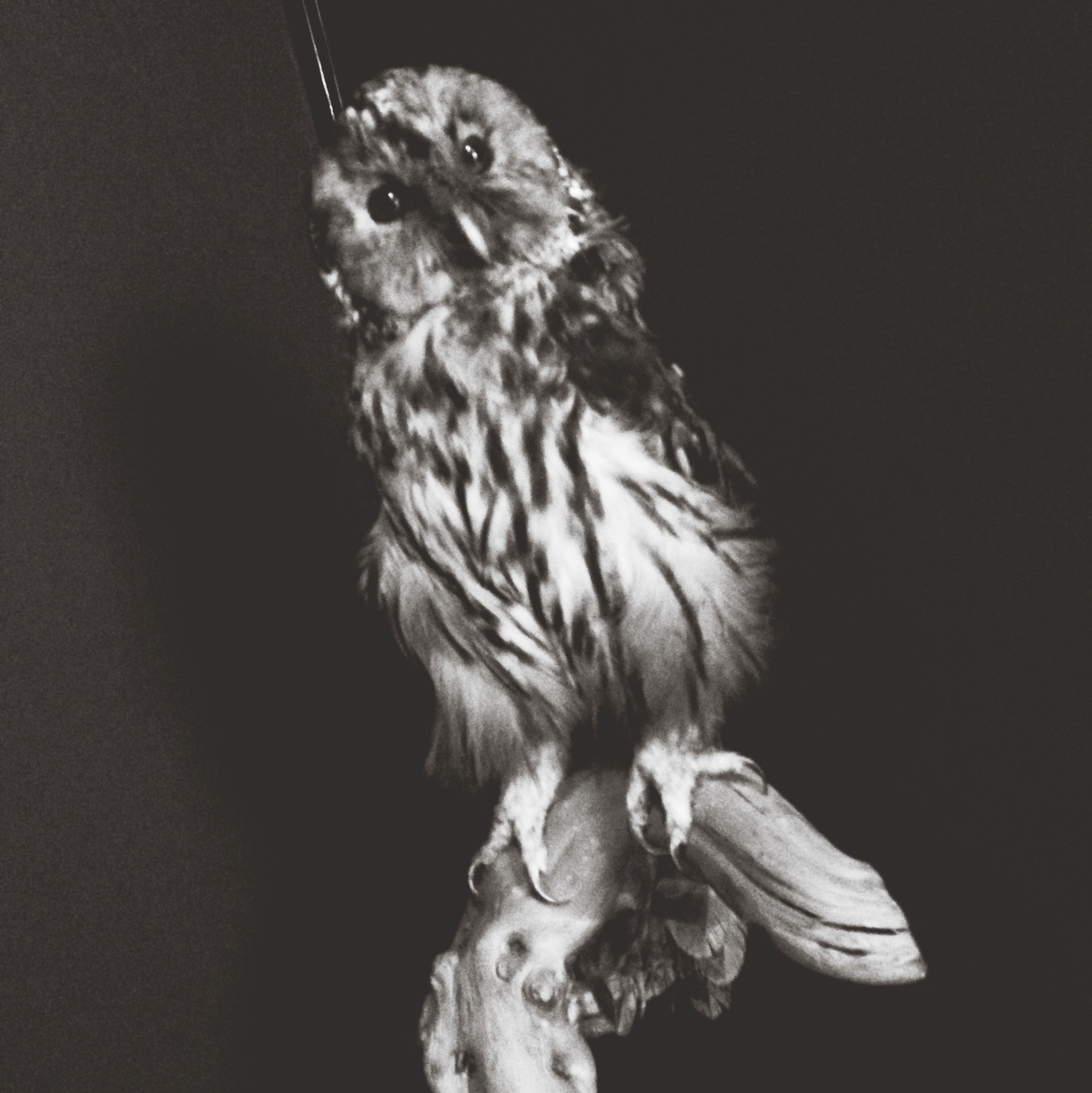 animal themes, one animal, animals in the wild, wildlife, bird, bird of prey, close-up, perching, full length, focus on foreground, no people, zoology, nature, looking away, copy space, beak, side view, animal head, studio shot, owl